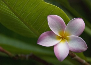 Plumeria photo taken on the Hawaiian Island Kauai